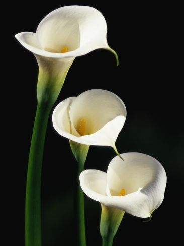 ~~ Three White Calla Lilies ~~: White Callas, Favorite Flowers, Three White, Lilies Poster, Beautiful Flowers, Rissa Flowers, White Calla Lily, White Calla Lilies