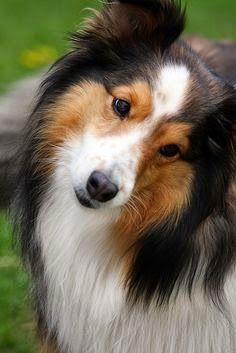 Top 5 Most Loyal Dog Breeds of All times: Doggie, Pet, Shetland Sheepdog, Beautiful Sheltie, Dog S, Beautiful Dogs, Friend, Animal