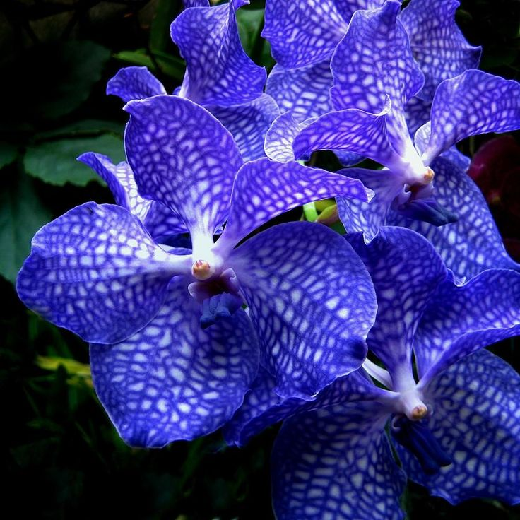 Vanda Prchids | Vanda Orchids Photograph by Shirley Sirois - Vanda Orchids Fine Art ...: Vanda Orchids, Flowers Blue, Flowers Plants, Blue Vanda, Beautiful Flowers, Beautiful Orchids, Flower Blue