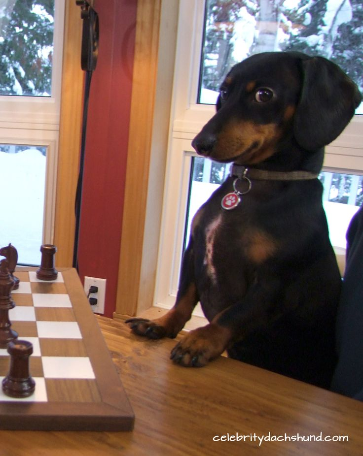 Wiener dog playing chess! Love this little one's face!: Funny Doxies, Winner Dogs Dachshund, Doxie S, Weiner Dogs, Dachshund S, Wiener Dogs