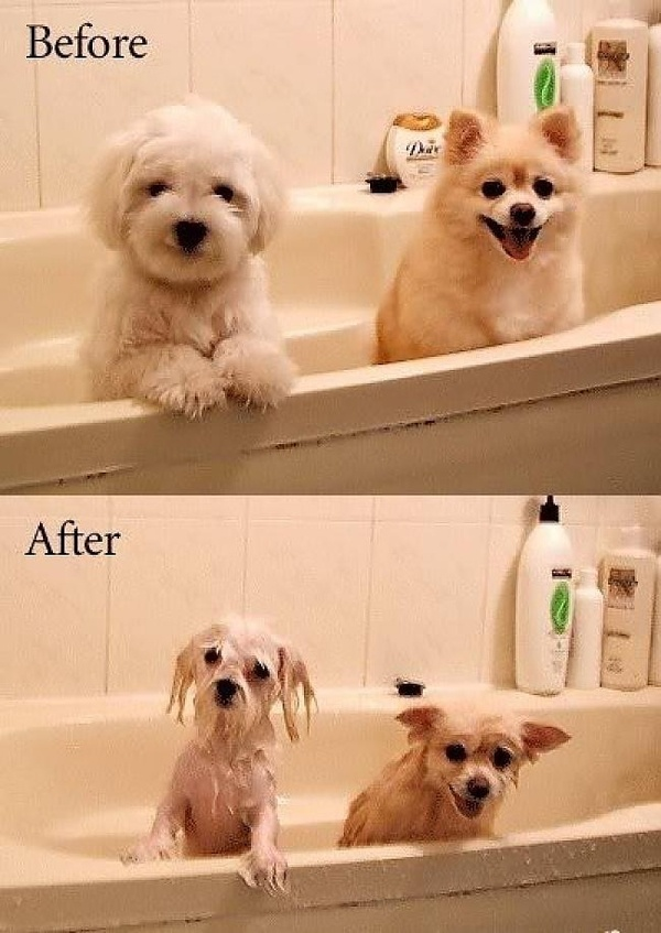 WOW! Ive been using this new weight loss product sponsored by Pinterest! It worked for me and I didnt even change my diet! I lost like 26 pounds,Check out the image to see the website, funny dogs: Wet Dog, So Cute, Bathtime, So True, Funny Animal, So Funn