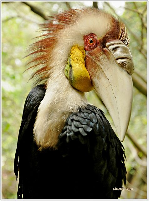 bird from the toucan family?