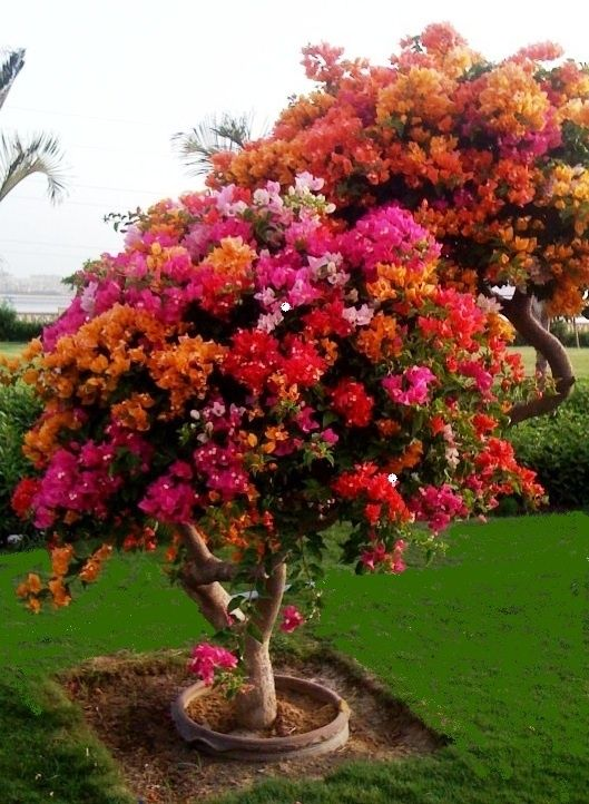 Bougainvillea tree.  Wow, this is gorgeous!!!