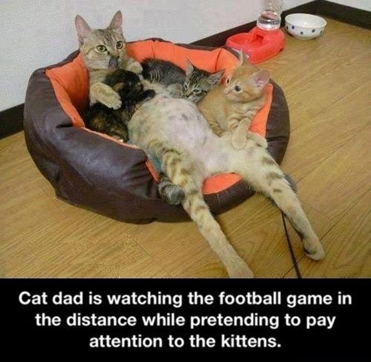 Cat dad // funny pictures - funny photos - funny images - funny pics - funny quotes - #lol #humor #funnypictures: Cats, Animals, Funny Cat, Cat Dad, Funnies, Humor, Funny Animal, Dads