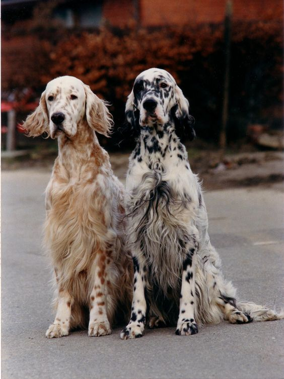 English Setter - such a wise ol' face: Doggie, Animals, Englishsetter, Pets, Beautiful Dogs, English Setters, Friend, Eye
