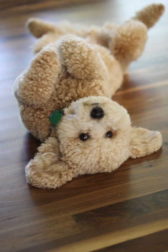 Mini Golden Doodle...Oh My Gosh... I thought it was a toy...How cute! Looks like a Teddy Bear!!!: Animals, Dogs, Teddybear, Teddy Bears, Pet, Puppy, Goldendoodle, Stuffed Animal