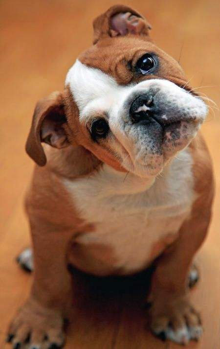 My favorite type of dog in the whole world! Well, next to labs, but I REALLY want an English bulldog someday! By the way, this cutie's name is Ginger.: Animals, Englishbulldog, Head Tilt, English Bulldog Puppies, English Bulldogs, Puppy, Bulldog Somed