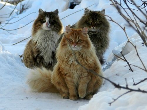 Norwegian Forest Cats, They are called Fairy Cats in Norway because they are so pretty and run down trees headfirst.: Forests, Animals, Norwegian Forest Cat, Maine Coon, Snow, Feline, Kitty