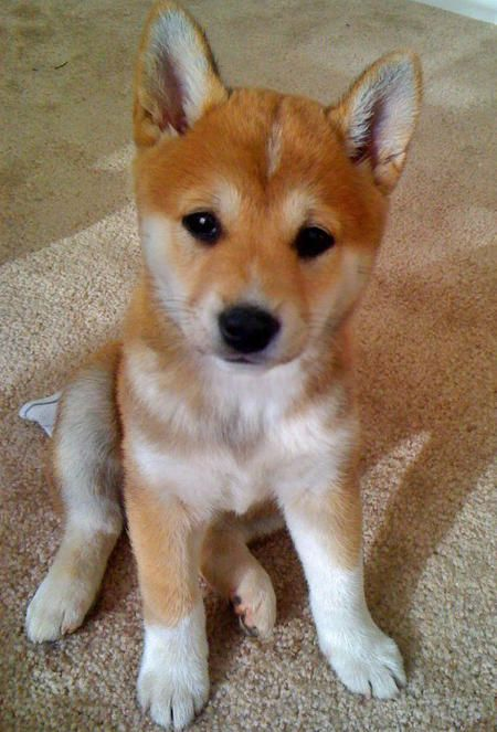 Sushi the Shiba Inu  If someone got me a Shiba Inu, they would forever own my heart.: Puppies, Animals, Dogs, Shiba Inu, Pet, Puppys, My Heart, Shibainu