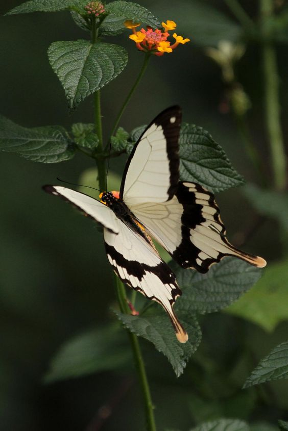 The Flying Handkerchief, Mocker Swallowtail Butterfly (Papilio dardanus) male