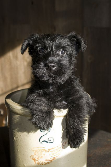 This puppy is adorable. The image of a small wide-eyed dog in what appears to be a bucket attracts the eye in a less is more way.: Mini Schnauzer, Miniature Schnauzer, Box Market, Pet, Dog, Schnauzer Puppy, Animal, Scottish Terriers