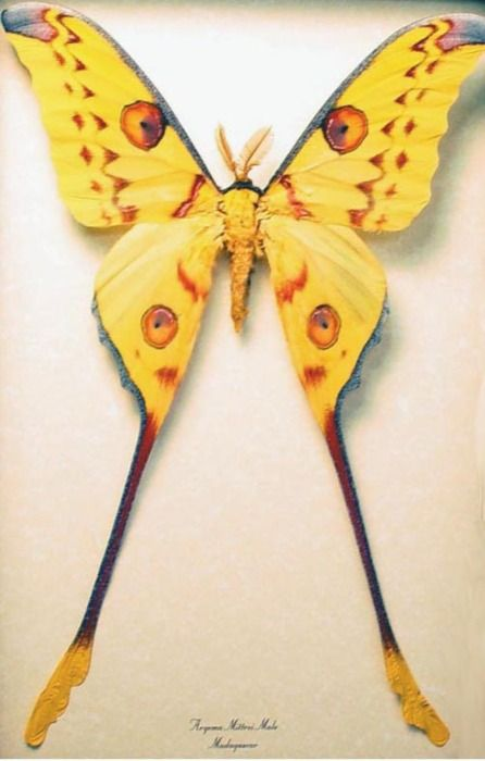 Undoubtedly the most charmingly-named member of the insect kingdom, the Madagascar moon moth fairy.