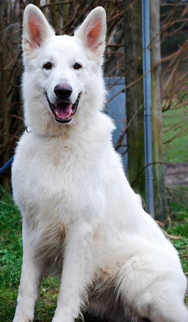 White German Shepherd dog breed- the description is so true of my Bianca, although she is mixed with a Sharpei: German Shepherd Dogs, White Shepherd, White German Shepard, White German Shepherds, White German Sheperd, Friend, Animal