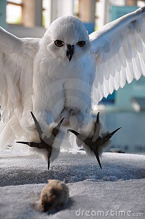 White Owl catching mouse - I love owls, but I still hate seeing them catch small rodents...a part of life that I don't like to think about...I just like to see them in trees with their eyes wide open...