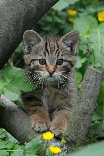 http://sensuelle92000.tumblr.com/post/124008038525: Wild Cat, Big Cat, Kitty Cats, Cats Kittens, Wildcat Baby, Baby Cat