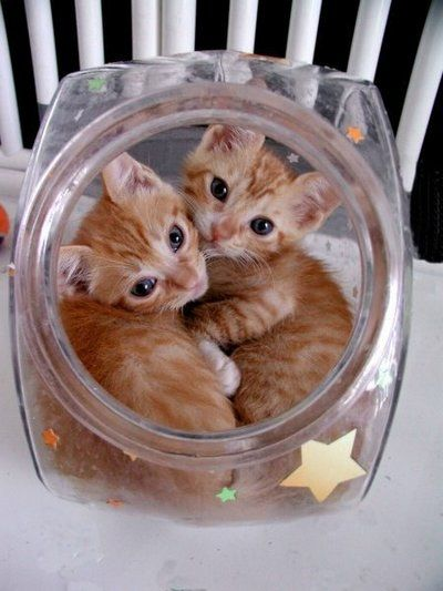 I've heard of cookie jars but kittie jars are new to me ... where can I find one?: Gingersnap, Cute Animal, Kitty Cats, Cat S, Cats Kittens, Cat Lady