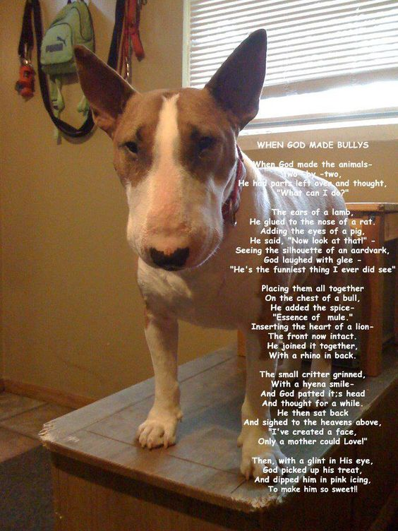 Lol cute... Why God Made Bull Terriers: Dogs Animal, Bull Terriers, Terriers Dogs, Animal Bull, Bull Terrier, Bullie S, Mini Bull Terrier, Bully S