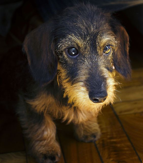 Wirehair Dachshund.     Where can I find one? My first baby was a wire haired doxie girl and I've always loved them, but have seen very few.: First Baby, Ruwhaarteckel, Doxie Doggies, Dogs Private, Lovely Doggies, Animal