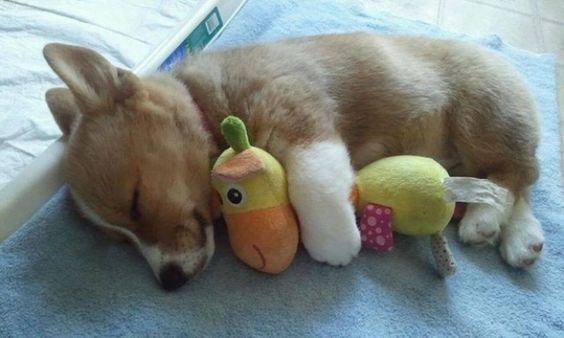 Cute Corgi puppy! Absolutely precious.....See more Corgi pictures, cartoons, videos and Corgi pet supplies by Liking us on Facebook at facebook.com/corgiscrapbook: Corgi Pet, Facebook Com Corgiscrapbook, Baby Corgi, Cause Corgis, Cartoon, Corgi Pictures,