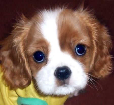I miss my sweet puppy. He looked just liked this! Cavalier King Charles Spaniels are the sweetest dogs on the planet.: Spaniel Puppies, Puppy Love, Cocker Spaniel, Cavalier King Charles, King Charles Cavalier, Cavalier Puppy, Adorable Animal, King Charles