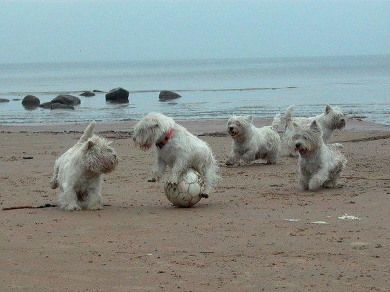 Westies playing soccer! I LOVE this picture!
