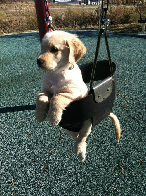 """""""could someone gimme a push?"""": Doggie, Adorable Animals, Golden Retrievers, Puppy Swing, Pet, Box"""