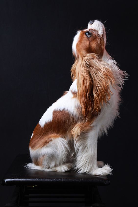 "Beautiful blenheim cavalier king charles spaniel 500px / Photo ""Felix"" by Art Mellor: Cavalier Spaniel, Cavaliers, Beautiful Cavalier, Dogs Pets, Cavalier King Charles, King Charles Cavalier, Beautiful Dogs, King Charles Spaniels"