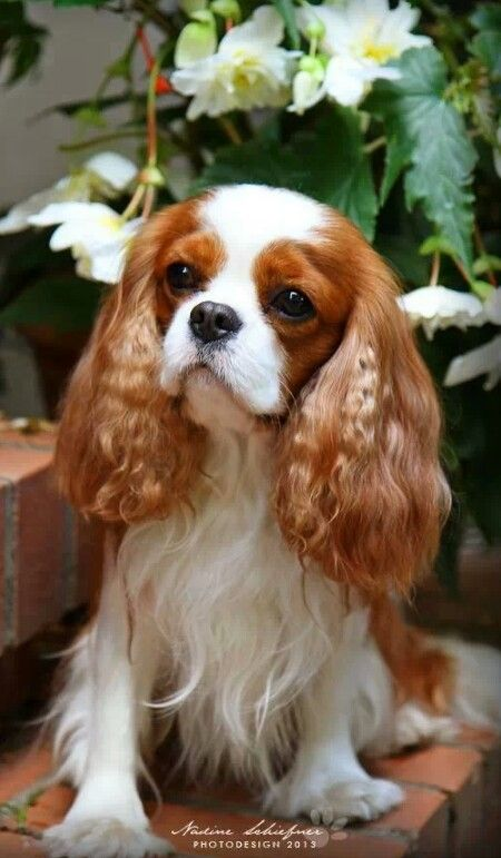 FYI: - FREE: THIS COULD - SAVE YOUR PET'S LIFE!! WATCH SHOCKING VIDEO: https://www.youtube.com/watch?v=C14a5Wj7crk http://www.PAWS-AND-CLAWS-PET-PROTECTOR.COM: Cavalier Cutie, Beautiful Cavalier, Charles Cavaliers, Cavalier Isn T, Animals Cavalier The