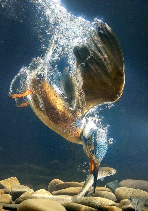 Animal Planet 7 – Kingfishers in action http://www.designswan.com/archives/animal-planet-7-kingfishers-in-action.html
