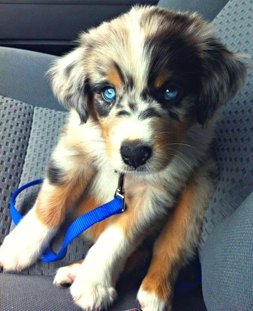 Golden Retriever  Siberian Husky! Oh my cute!