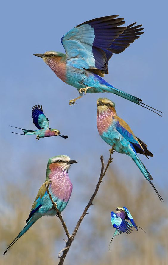 Lilac-breasted Roller Collage