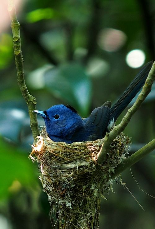 nesting black-naped monarch also known as black-naped blue flycatcher #birds