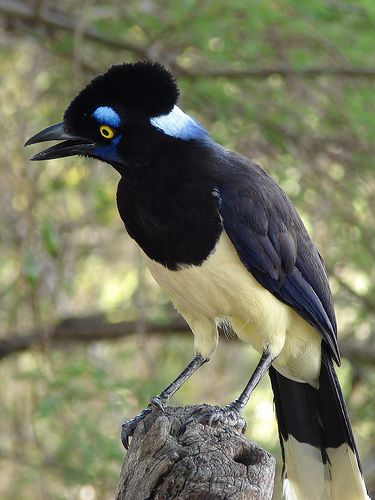 The Plush-crested Jay (Cyanocorax chrysops) is a jay of the family Corvidae (which includes the crows and their many allies). It is found in central-southern South America: in southwestern Brazil, Bolivia, Paraguay, Uruguay, and northeastern Argentina, in