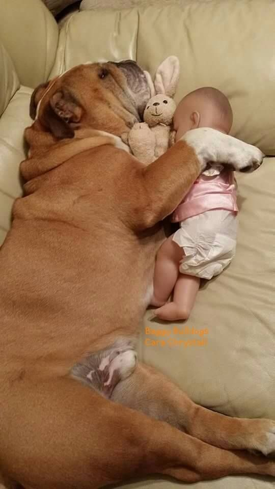 A Bulldog cuddled up with a baby doll, taking a peaceful nap: Beautiful Bulldogs, Bulldogs ️, English Bulldogs, Baggy Bulldogs, Baby Doll, Bulldogs English, Bulldog Babysitting, Bull Dogs