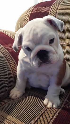 Adorable Bulldog puppy: Bulldog S, Bulldog Puppies, English Bulldogs, Baggy Bulldogs, Bulldogs ️ ️, Bulldogs Love, Bull Dogs