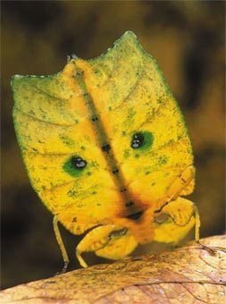 Amazing Insects! - Walking Leaf: Amazing Insects, Autumn Leaves, Butterflies Insects, Animals Insects, Grasshoppers Insects Bugs, Bugs Insects Arachnid, Insects Walking, Weird Insects