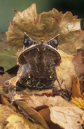 Asian Leaf Frog | Gail Shumway: Frogs Lizards, Savethefrogs Org, Frogs Turtles, Reptiles Amphibians, Frogs And Toads