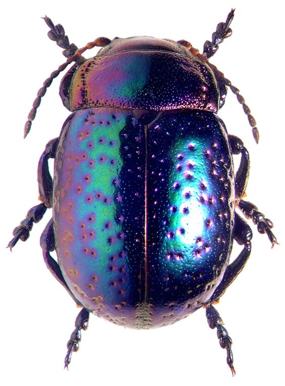 Chrysomelidae:   Chrysolina perforata perforata: Bugs Beetle, Beetles Insect, Beauty Beetles, Insects Bugs, Beetles Butterflies, Bugs Insects
