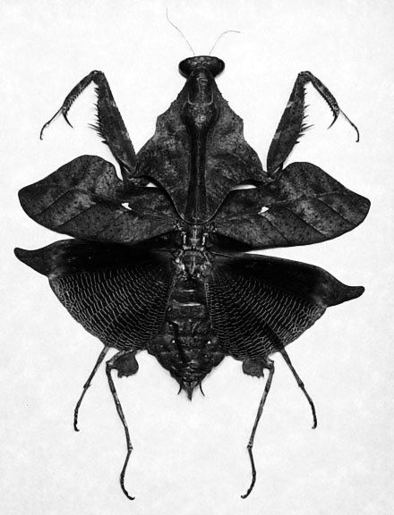 Darth Vader mantis Yikes... wouldn't want to meet this one in an alley: Mantis Yikes, Black Mantis, Vader Mantis, Black And White, Camouflage Insect, Alley Camouflage, Camo Insect, Ebony Mantis, Praying Mantis