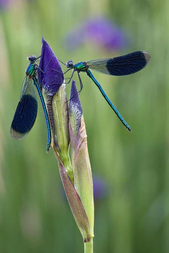 Dragonfly visit to Iris by Ralph Budke: Butterflies Dragonflies, Dragonflies Butterflies, Iris Bud, Dragonfly S, Dragonfly Damselfly, Animals Dragonflies, Dragonfly Visit, Butterflies Moths Dragonflys