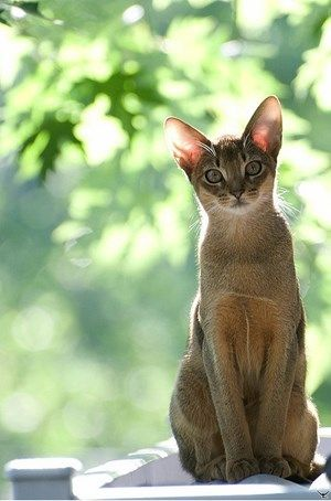 "* * FACTOID: Abyssinian cats have become wildly popular, in part because of their  unique beauty ( they are depicted in Eygptian artwork), and in part because of their personalities. ""Abys"" as they are affectionately known, are athletic and playfu"