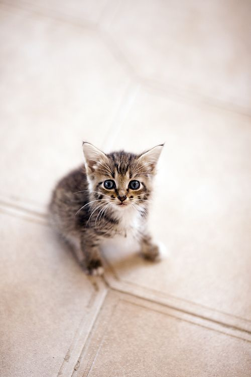 "♥✮✮""Feel free to share on Pinterest"" ♥ღ www.MYVICTORIANANTIQUES.COM: Kitty Cats, Adorable Kittens, Baby Kittens, Cats And Kittens, Tabby Kittens, Animals Cats, Cats Kittens, Baby Kitty, Cute Kittens"
