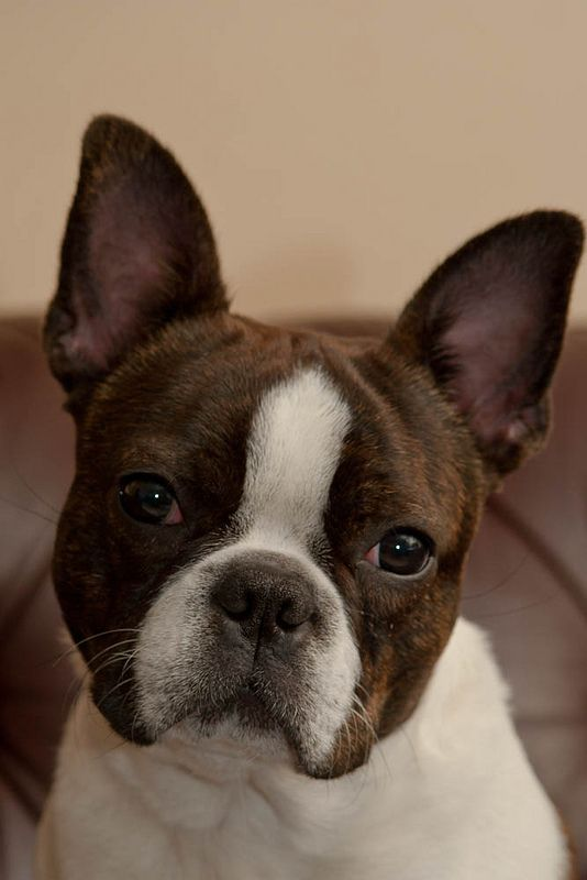 I have a puppy that is a cross between a Boston Terrier and an Australian Cattle Dog. He's amazing!: Brown Boston Terrier Puppy, Bostonterriers, Boston S, Boston Terriers Puppy, Brindle Boston Terrier Puppy, Dog Carrier, Cross, Animal