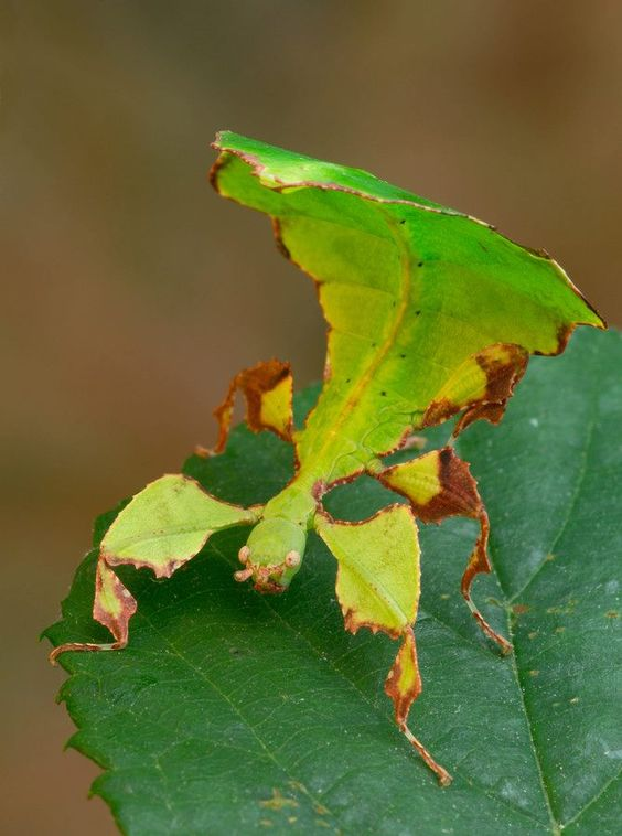 Leaf bug: Leaf Bug, Leaf Insects, Leafy Bug, Butterflies Insects, Insects Bugs, Insects Leaf, Animal
