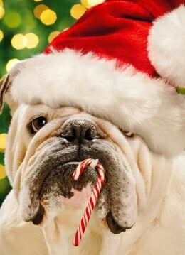 Old English Bulldogs  Merry Christmas Card Hound Puppy Holiday Dogs Santa Claus Dog Puppies: Englishbulldog, Bulldogs, Funny Animal, Christmas Card, Christmas Dog