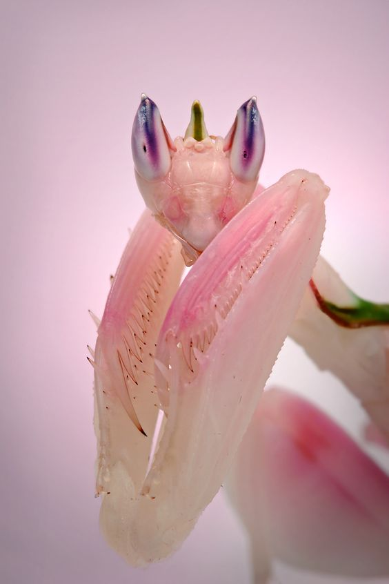 Orchid Praying Mantis, Photo by Igor Siwanowicz: Orchid Praying, Albino Mantis, Praying Mantis, Albino Animal