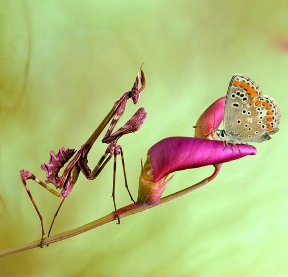 Praying mantises up close: wildlife enthusiast Jimmy Hoffman photographs the unusual insects - Telegraph: Jimmy Hoffman, Don T Bug, Bugs Life, Wildlife Enthusiast, Praying Mantise, Amazing Animals, Praying Mantid, Beautiful Nature