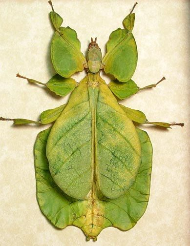 Real Framed Bright Green Walking Leaf Mimic Insect 7981: Amazing Insects, Gray S Leaf, Beautiful Bugs, Animals Insects, Bright Green, Amazing Bug, Framed Insect