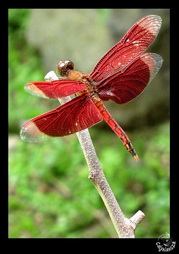 Red dragonfly this symbolize my grandmother a long story. But i must get this tattooed for her: Butterflies Dragonflies, Dragonflies Butterflies, Libélula Animales, Beautiful Color, Dragonflies Red, Red Dragonfly, Dragonfly Red, Beautiful Red