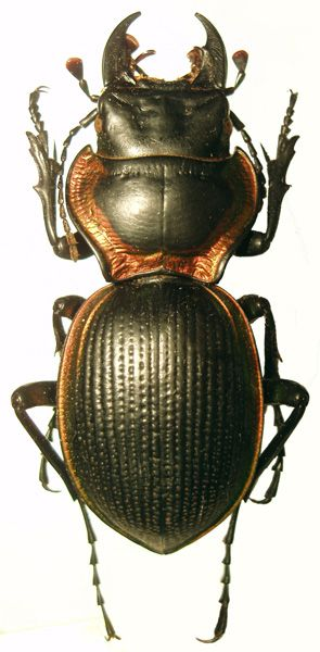Scaritini mouhotia planipennis  Loved drawing insects when i was a kid: Bugs Animals, Flying Insects, Insect 44, Beetles Bugs, Interesting Insects, Drawing Insects, Loved Drawing, Art Insects